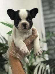 Bulldog Francês, à pronta entrega, com 45 dias de vida!!