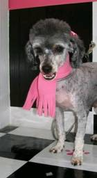 Estou doando uma poodle femea cinza linda