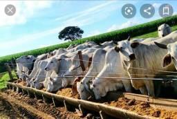 Planilha de proteína para gado de corte na época da seca