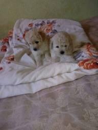 Poodles macho e femea