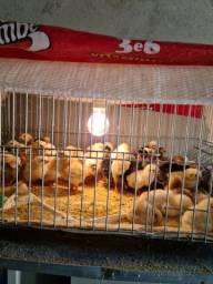 Pintinho e frango caipira legítimo
