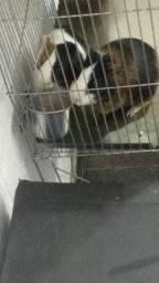 Porquinho da Índia macho de 5 meses