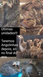 Últimos filhotes de Angola