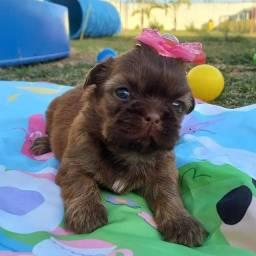 Canil Baby Dreams  / shitzu linhagem de campeões de beleza Costa no pedigree