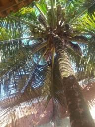 Vendo cocô direto do coqueiro