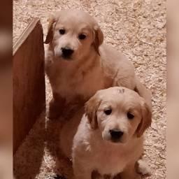 Golden fêmeas e machinhos já vacinados com todas garantias em contrato