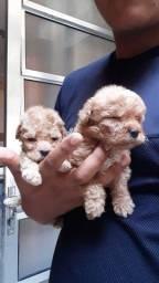 - - - - Poodle