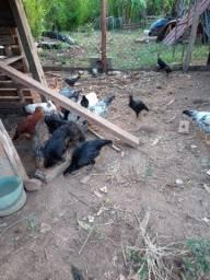 Galos e galinhas índias