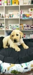 Filhotes de Labrador vacinados Pedigree cartão até 10 x