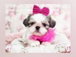 **Filhote mini de shihtzu, princesinha disponível aqui Namu Royal, foto real*