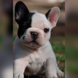 Bulldog francês fêmeas e machinhos já vacinados com todas garantias em contrato