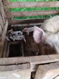 Vendo uma porca branca com 4 Leitão e um porco inteiro branco e uma porca vermelha