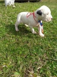 Vendo filhotes de Dogo argentino
