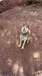Vendo urgente husky Siberiano