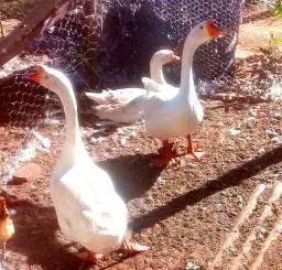 Filhotes de ganço sinaleiro chines branco