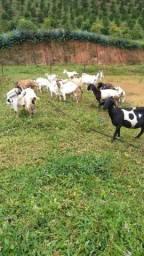 Cabritos e cabras (mestiços)