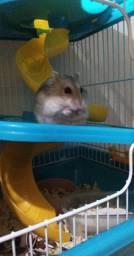 Hamster anão fêmea
