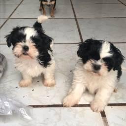 Vendo 1 cachorrinho macho da raça Lhasa Apso