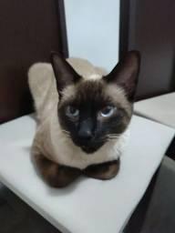 Doação gato siamês 1 aninho