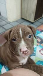 Filhote Pit Bull red nose