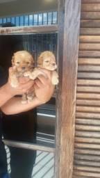 Filhotes de Poodle disponíveis