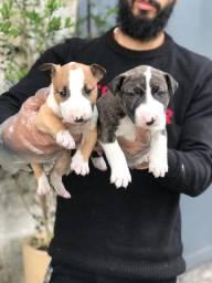 Lindos filhotes de Bull Terrier, disponível em loja.