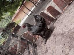 Vendo galinha Brahma dark reprodutora