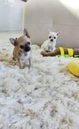 Chihuahua com pedigree micros