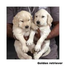 Golden retriever com pedigree e micro chip em até 12x