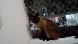 Doa - se gato Siamês