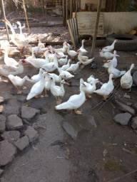 Vendo patos paisandu vivo