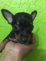 Pinscher fêmea 750 e o macho 450 n 1 com n 0 pais no local