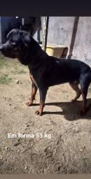 Procuro femea da raça Rottweiler