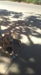 Vendo americam pitbull terrier