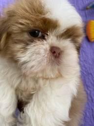 Baby lindos shih tzu com pedigree e microchip