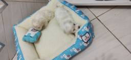 Bebês Poodles Macho Mini em Até 12x no Cartão