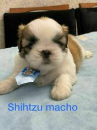 Shihtzu receba em sua casa hoje ligue já