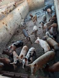 Lote de porcos