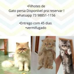 Vendo filhotes de Gato Persa Disponível pra reservar