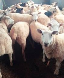 Ovelhas e Borregas Texel puras Prenhas