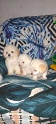 Vende-se filhotes de poodle! R$450,00