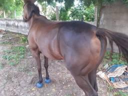 Vendo egua de esteira ou troco em cavalo