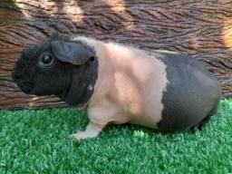 Exotico pig skinny