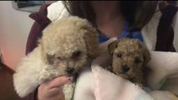 Cães da raça Poodle legítimos