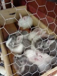 Vendo filhotes de coelho 50 reais