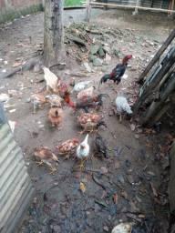 Vendo galinhas e franguinhos caipira