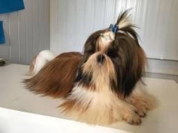 Shih Tzu nasc.17/07/2018 (Canil Paradise Dogs)
