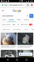 Procuro anão Netherlands (fêmea )