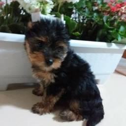 Yorkshire Terrier Mini Fêmea