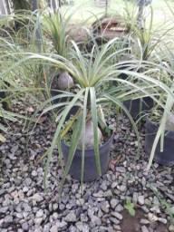 Vendo plantas muito bonita